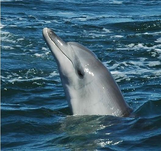 雄性宽吻海豚身体的下方有两个裂缝