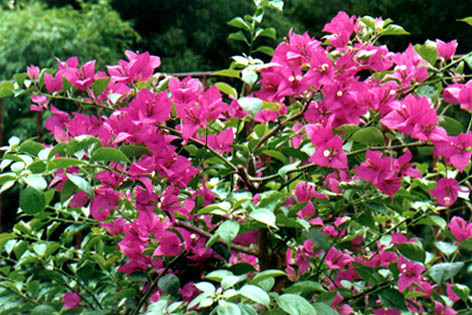 欧美用叶子花作切花.