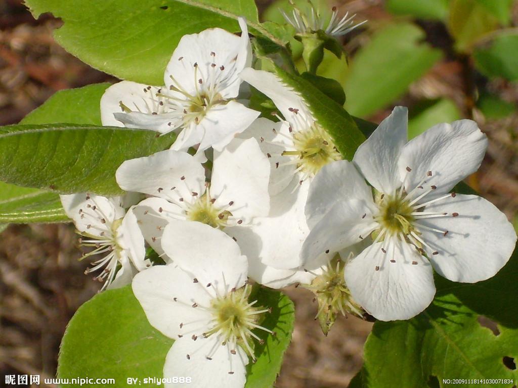 梨花の画像 p1_24