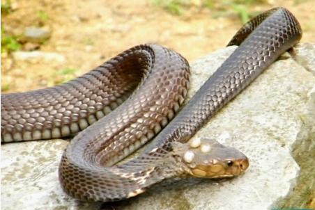 梦见大蛇吃小蛇_头上长角的蛇是什么蛇-头上长角的蛇秃尾巴|长犄角的蛇是什么蛇 ...