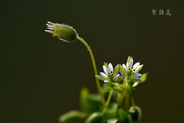 (图)繁缕花