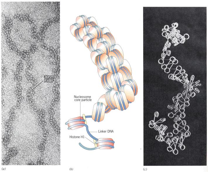 组蛋白是真核生物染色体的基本结构蛋白,是一类小分子碱性蛋白质,有五