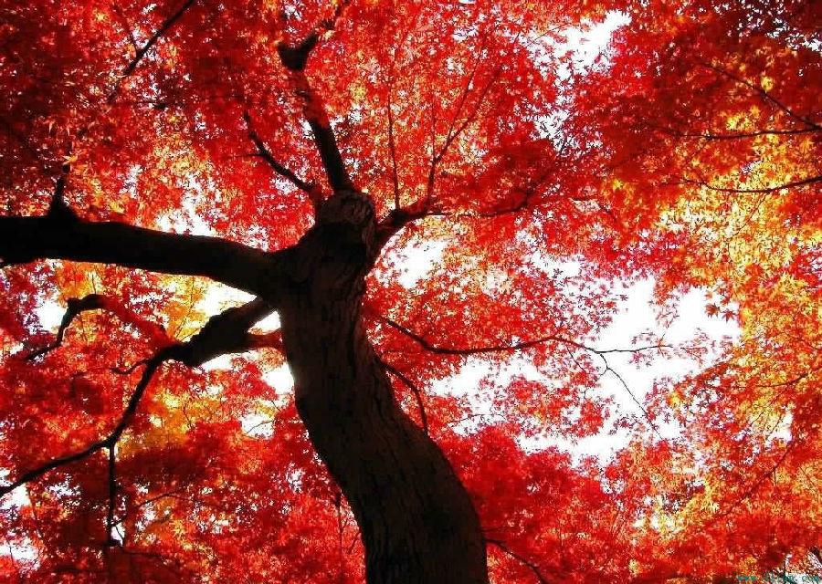 香山红叶并非枫叶,而是黄栌树叶.