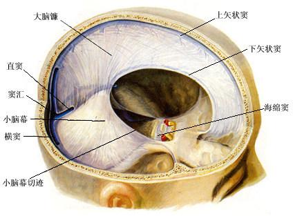 脑解剖手绘图