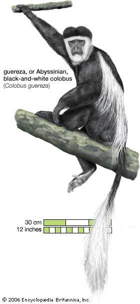 编辑本段体型特征   黑白疣猴是非洲特有的灵长目动物,因为拇指退化