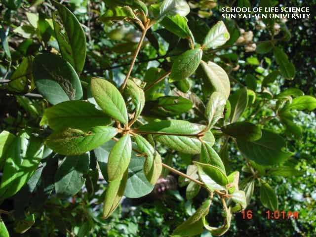 绒楠 machilus velutina