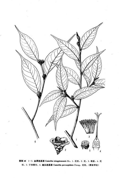 超尖连蕊茶墨线图