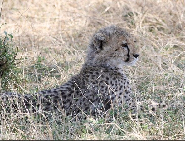 动物隐藏图片 豹