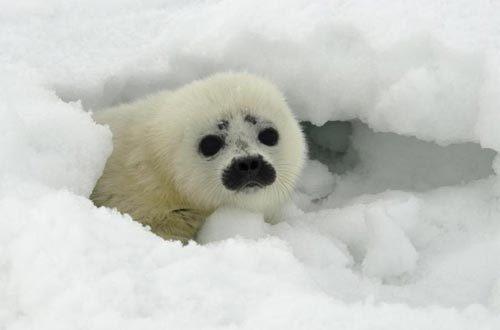 动物海豹牙图片大全