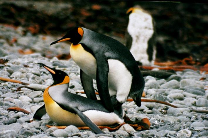 qq头像真实动物企鹅