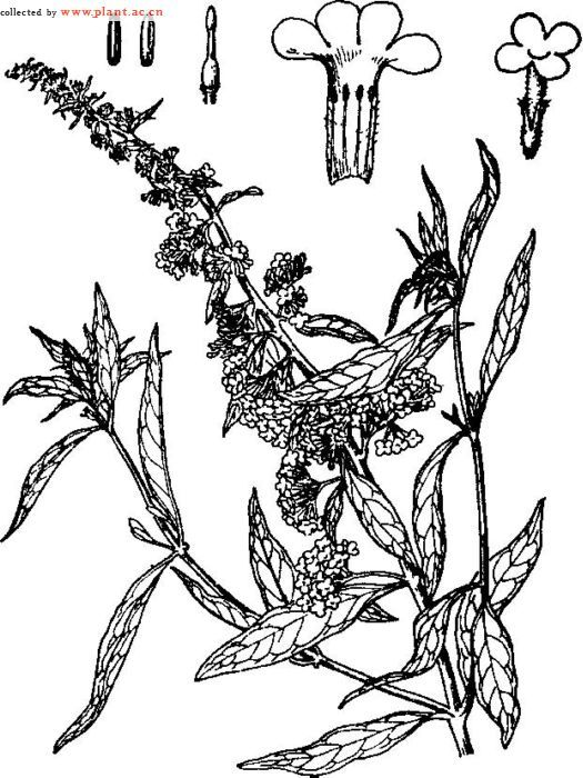 药用植物古风手绘