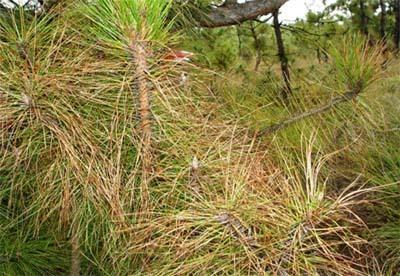 林缘,树梢及树冠,比林内,冠下及冠内发病重,这表明分生孢子借雨水机械