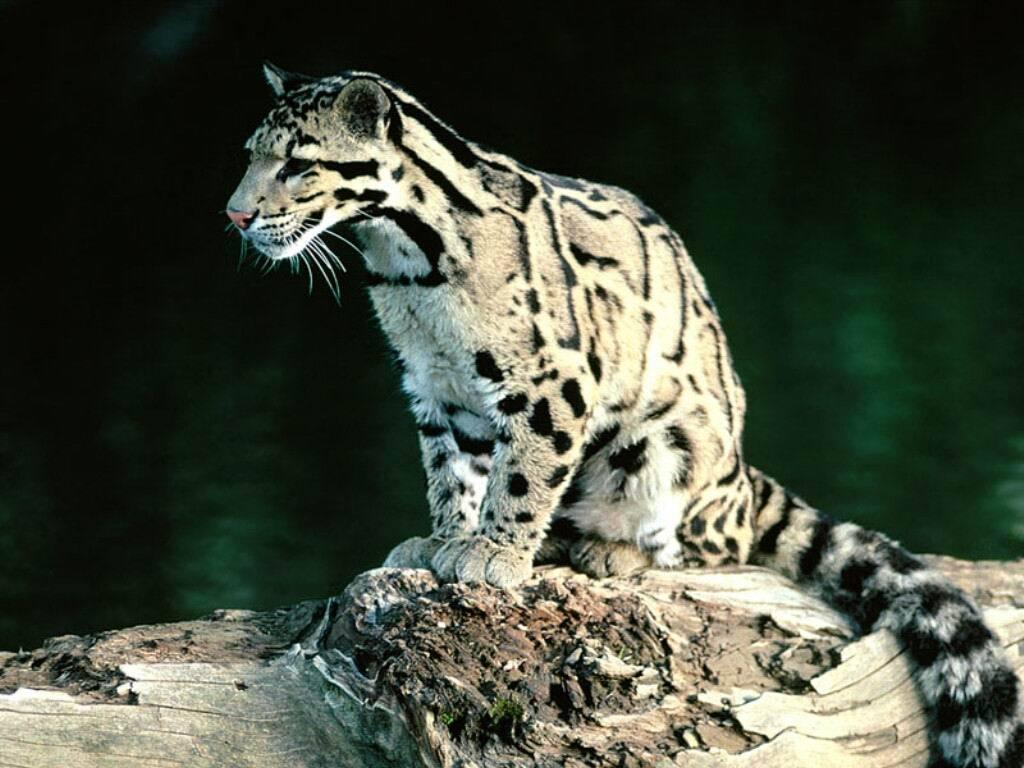 而我国也将云豹列为国家i级保护动物