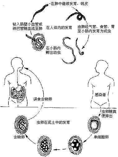 钩虫卵手绘图实验报告