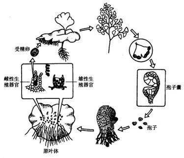 灵芝孢子粉 手绘pop
