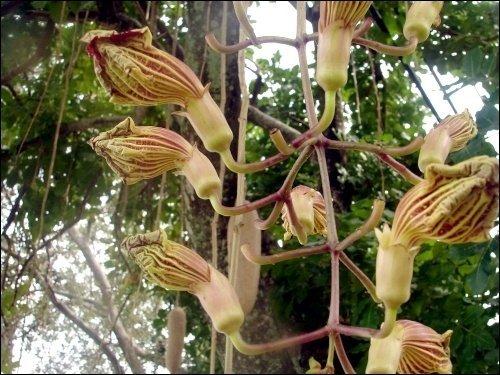 花美果奇的腊肠树是美丽的庭园