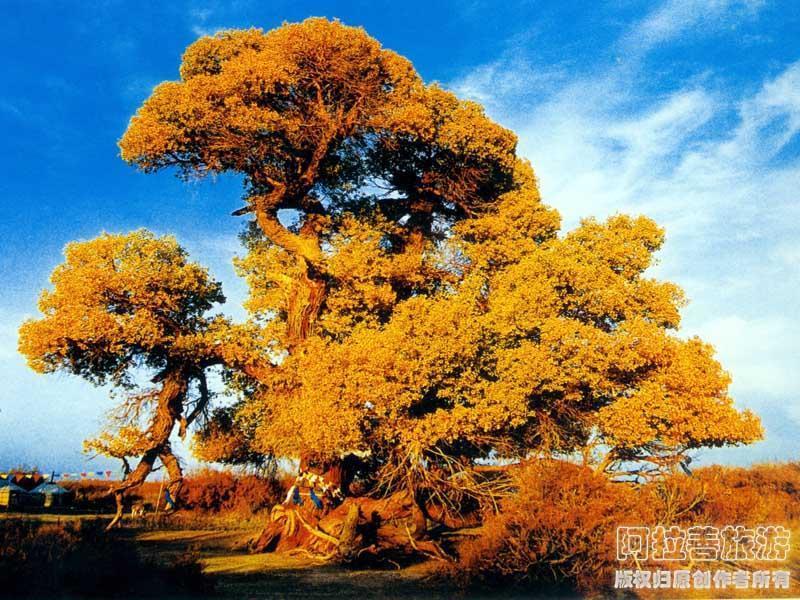内蒙古额济纳旗神树(胡杨树之王)